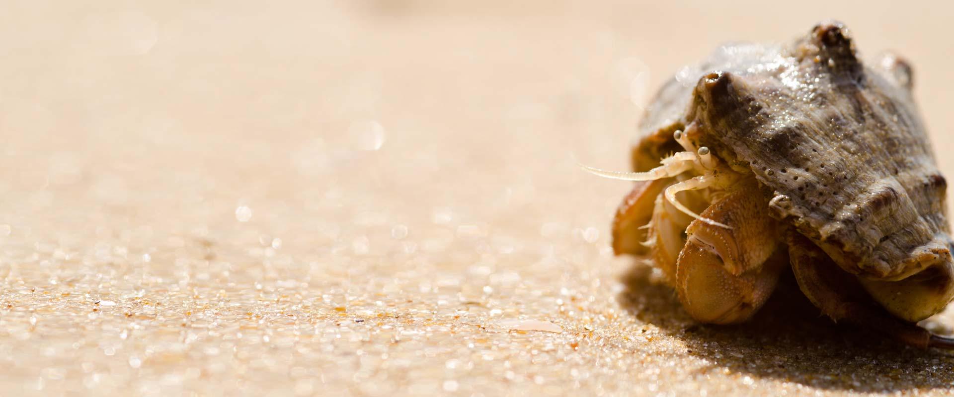 Candolim Beach – Hermit Crab